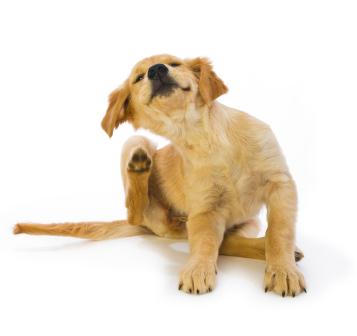 Jeuk bij oudere honden